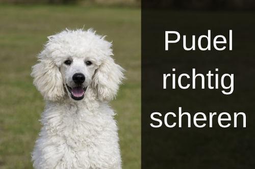 Pudel Scheren Pudelschur Anleitung Zum Selbermachen